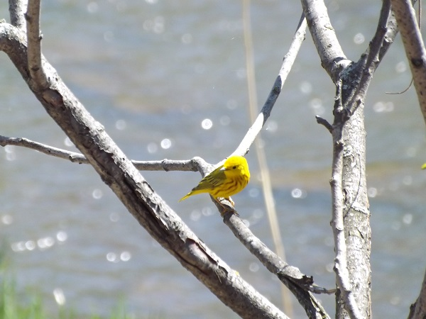 Yellow Warbler  Park of Rapids Montreal Quebec Canada
