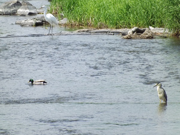 2015-05-23 Park of Rapids Bird Sanctuary Montreal, Quebec, Canada