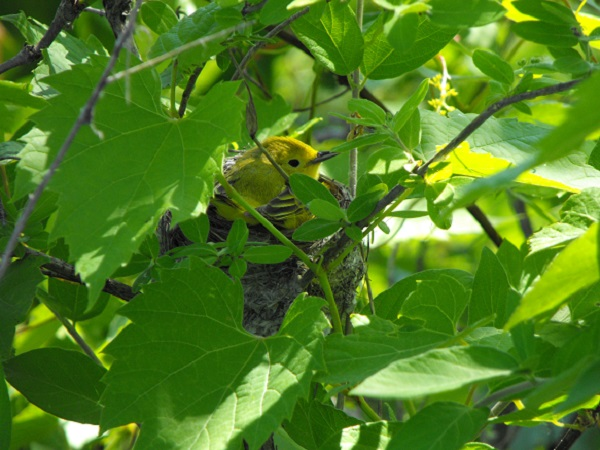 Yellow Warbler Park of Rapids Montreal, Quebec, Canada